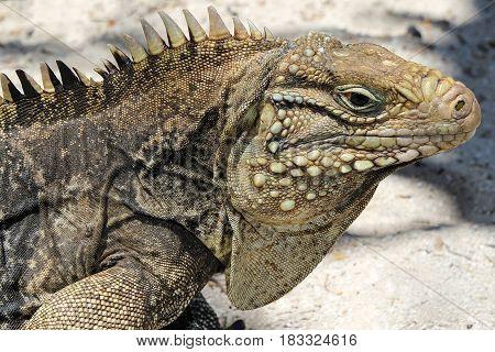 Portrait of Cyclura nubila Cuban rock iguana