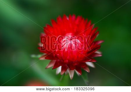 Red aster on a green background.Soft focus.