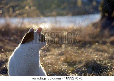 Domestic cat looking backward in golden light.
