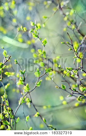 Young green leaves tree. A spring background