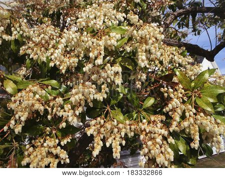 The bird- berry bush is loaded with spring glowers.