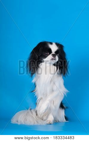 Purebred japanese hin studio sitting with one paw elevated portrait on blue background