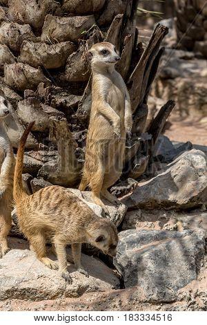 Group of meerkats or Suricata Suricatta living in Africa
