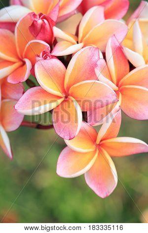 Close up of orange plumeria flowers in tropical garden, Thailand