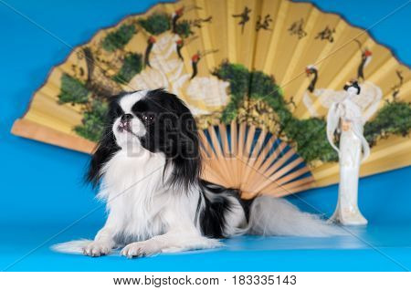 Purebred japanese hin studio portrait on blue background with statuette and fan