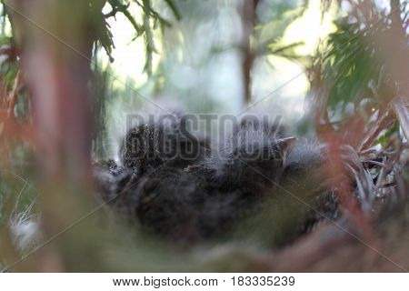 baby birds in nest on the tree spring photo