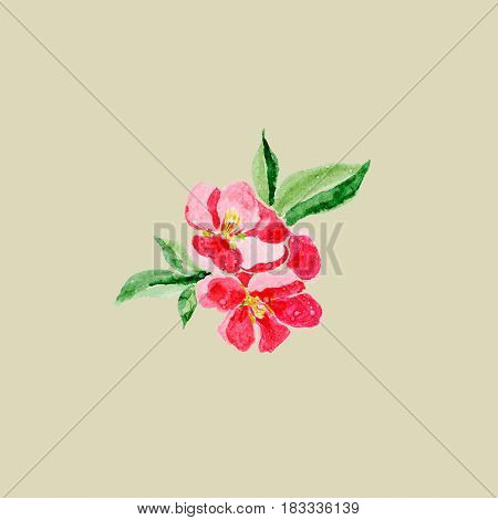 Japanese style. Botanical watercolor illustration of Red quince flower in blossom isolated on olive background