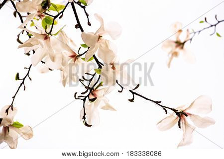 Flowers of pink magnolia on a white background
