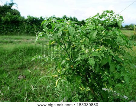 Agriculture Chili Pepper Also Chile Pepper Or Chilli Pepper At Grow Plant Crops At Garden