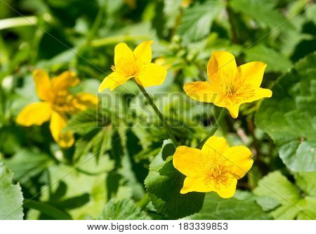 Kings cup or marsh-marigold (Caltha palustris) yellow flowers