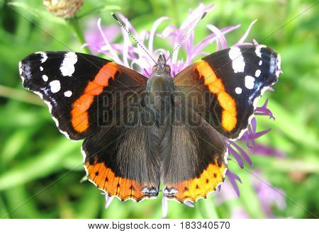 red admiral butterfly on the vilolet flower