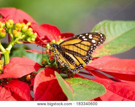 A Monarch butterfly on a Poinsettia flower in full sun