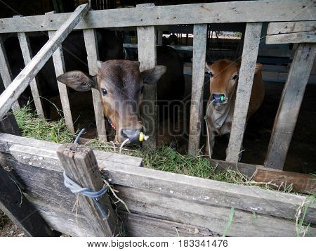 Young Cows Standing And Eating Food Grass In Paddock
