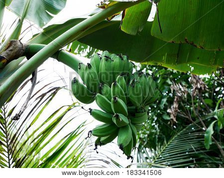 Bananas fruits on banana tree in garden at countryside of Thailand