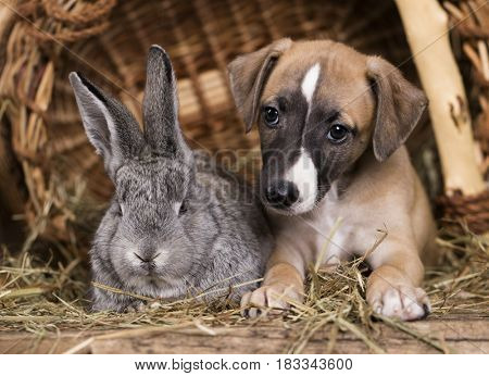 Puppy whippet and rabbit small