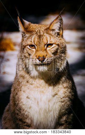Eurasian lynx portrait shot. Looking at the camera.