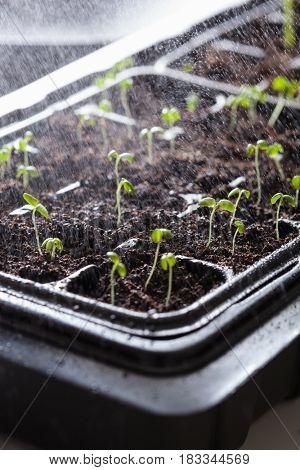 watering seedling plants growing in germination plastic tray