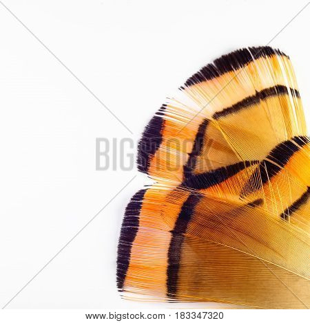 Feather Of The Golden Pheasant