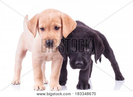 two curious little labrador puppies standing together isolated on white background