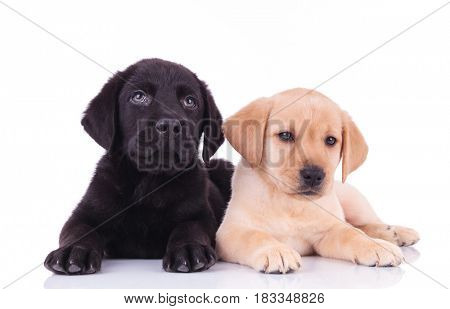 black and yellow labrador retriever puppies lying down together on white background