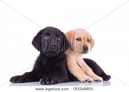 yellow little labrador retriever lying on top of black puppy on white background