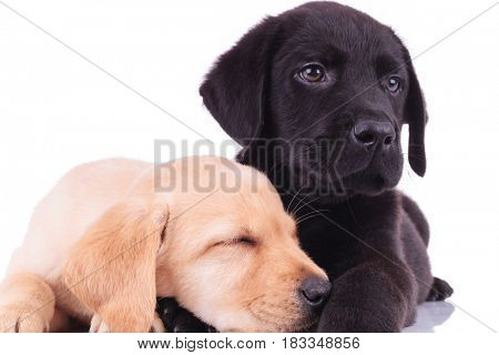 closeup picture of two adorable labrador retriever puppies resting together on white background