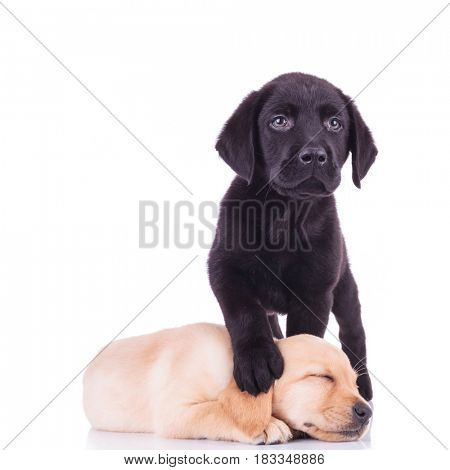 little black labrador standing with paw on sleeping puppy's head isolated on white background