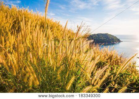 Yellow Reed Grass Coastline Of Andaman Sea
