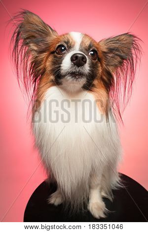 Studio portrait of a small yawning puppy Papillon on colorful background