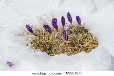 Spring violet crocuses flowering from the snow in Carpathian mountains