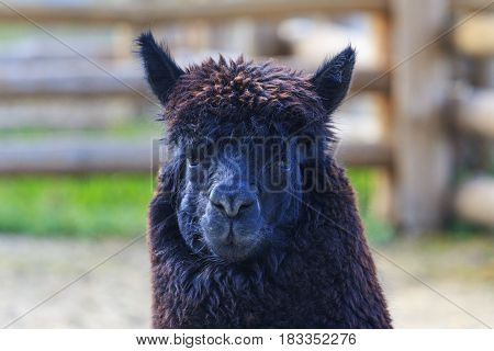 Alpaca wool with black, Animals on the farm