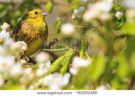 beautiful yellow bird with young leaves and white flowers, forest birds and wildlife