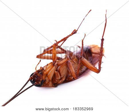 Cockroach isolated on a white background control, pest, insect, bug, brown, macro, dirty, dirt