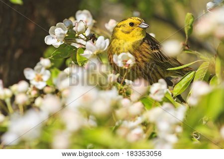 Emberiza citrinella of spring apple blossom, forest birds and wildlife