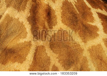 Giraffe skin with spots, Animals on the zoo