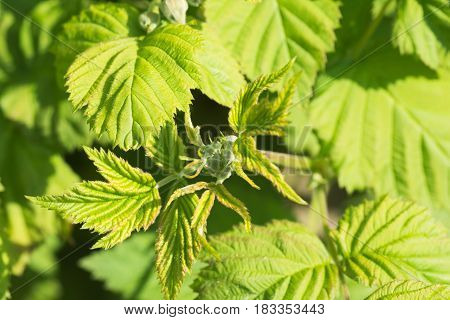 Loganberry raspberry green leaves with newly forming flowers background, selective focus