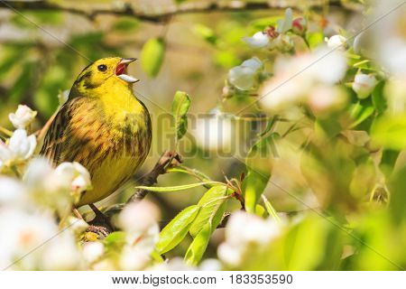Song birds singing in the flowers in the trees, forest birds and wildlife