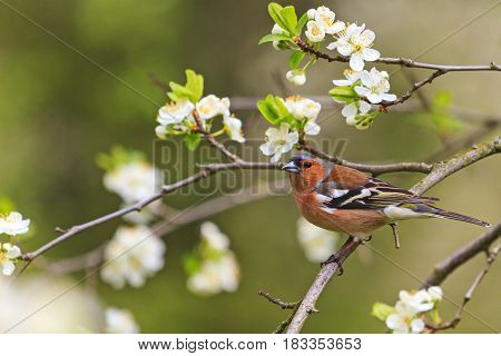 songbird of flowers sitting on a branch, forest birds and wildlife