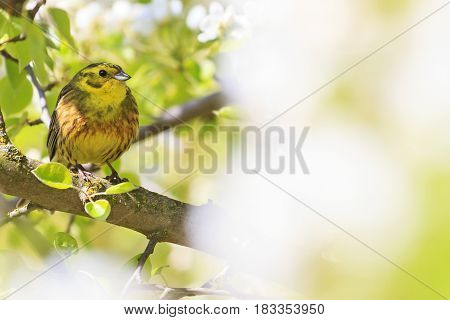yellow bird of spring apple blossom, forest birds and wildlife