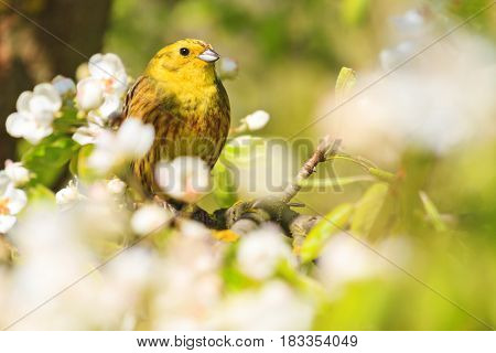 yellowhammer of spring apple blossom, forest birds and wildlife