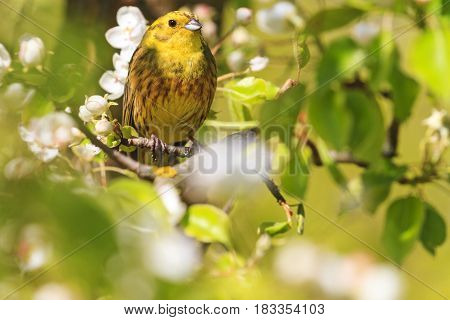yellowhammer of spring pear blossom, forest birds and wildlife
