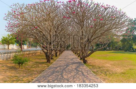 Perspective Image Of Plumeria Trees Tunnel