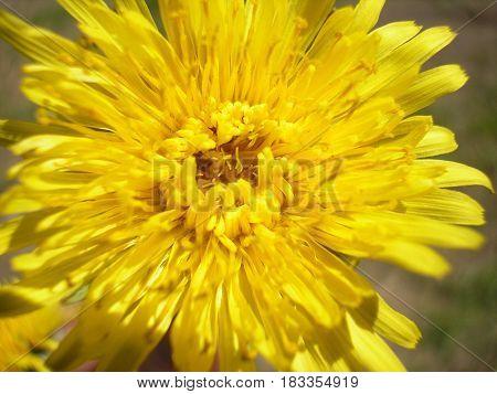 Flowering yellow dandelion flower Taraxacum officinale . Perennial herbaceous plant. Medicinal plant.