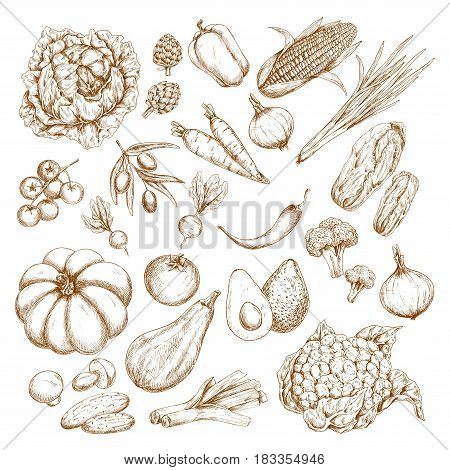 Vegetables vector icons. Sketch pumpkin, zucchini squash, broccoli or cauliflower cabbage, corn and carrot, tomato, cucumber, garlic and radish or beet. Farm harvest onion, olives and pepper