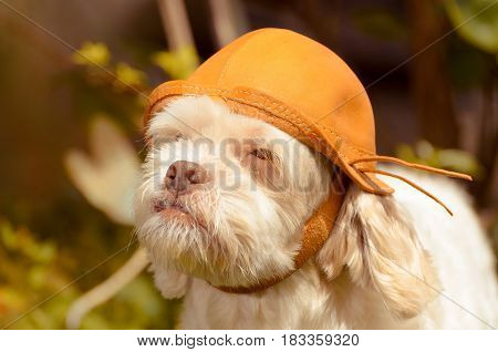 White Lhasa Apso That Seems To Be A Adventurer
