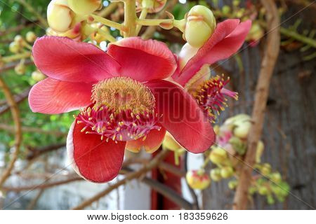 Beautiful Red Sal flowers in The Garden.