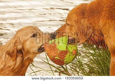 Two Wet Dogs Fighting For A Ball On A Lake