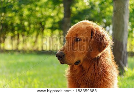 Portrait Of A Golden Retriever Dog On Nature.