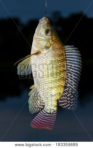 Hooked fish fresh Tilapia close up fishing background.