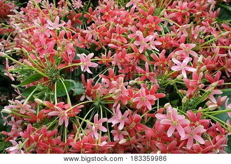 Pink Rangoon Creeper Flower in The Garden.